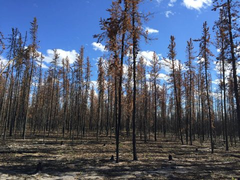 The 2014 fires in Canada's Northwest Territories burned more than 7 million acres of boreal forest, mainly comprised of cone-bearing trees like these jack pines. The fires released nearly 104 million tons of carbon into the atmosphere. (NASA / Xanthe Walker, Center for Ecosystem Science and Society at Northern Arizona University)