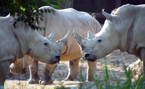 Southern White Rhinoceros at Nashville Zoo.
