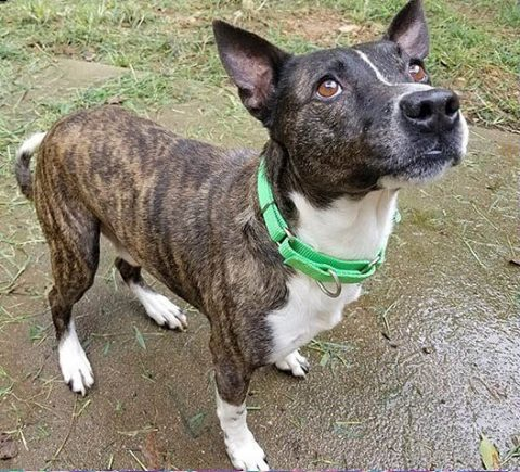 Companion Pet Rescue of Middle Tennessee - Sampson