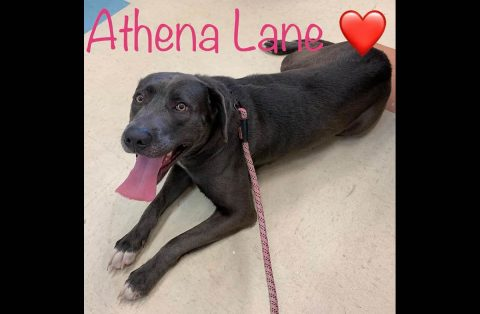 Athena is available at Montgomery County Animal Care and Control.