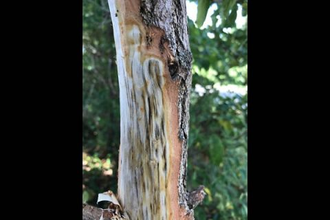 Sassafras Tree infected by Laurel Wilt Disease.