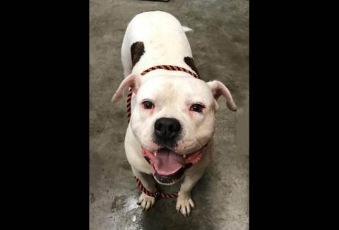 Montgomery County Animal Care and Control - Beau