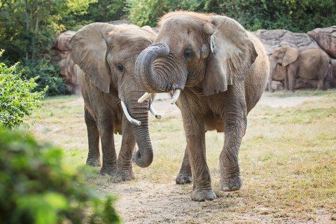 African Elephants at the Nashville Zoo. (Amiee Stubbs)