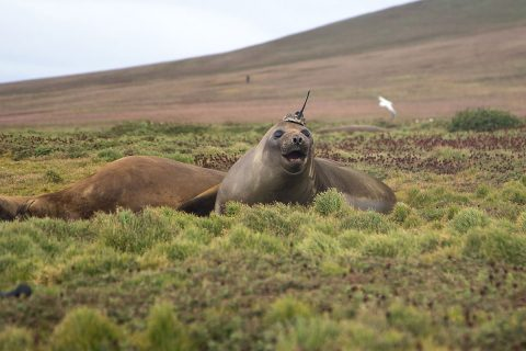 A tagged elephant seal basks on Kerguelen Island, a French territory in the Antarctic. Elephant seals are tagged as part of a French research program called SO-MEMO (Observing System - Mammals as Samplers of the Ocean Environment), operated by the French National Center for Scientific Research (CNRS). (Sorbonne University/Etienne Pauthenet)