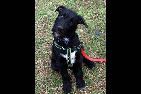 Companion Pet Rescue of Middle Tennessee - Kobe