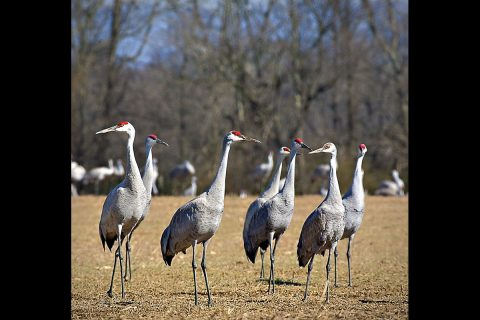 The 29th Annual Tennessee Sandhill Crane Festival is scheduled January 18th-19th at the Hiwassee Refuge and Birchwood Community Center.