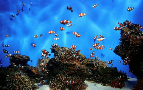 Clownfish are a good example of just how weird sex can be in the animal world. (Danny de Bruyne/FreeImages)