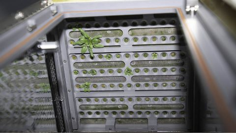Interior view of the Advanced Astroculture (ADVASC) experiment plant growth chamber showing the emergence of mustard seedlings. (NASA)