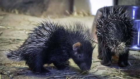 Two Cape Porcupines born at the Nashville Zoo. (Kate Johns)