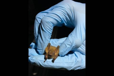 The team inspects a tri-colored bat at Fort Campbell. (APSU)