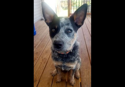 Companion Pet Rescue of Middle Tennessee - Brutus