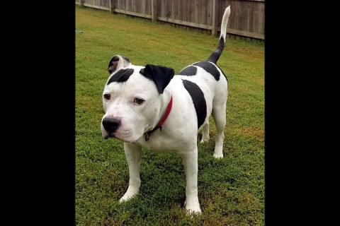 Companion Pet Rescue of Middle Tennessee - Calvin