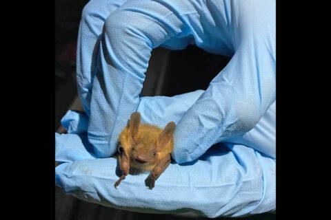 A tri-colored bat at Fort Campbell. (APSU)