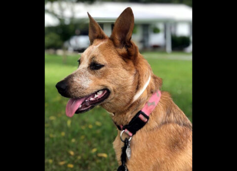 Humane Society of Clarksville-Montgomery County - Ginger