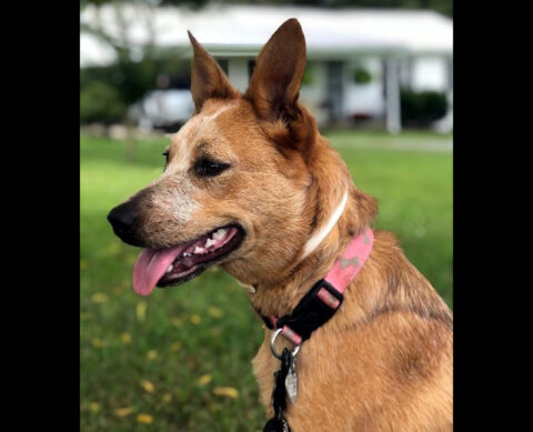 Ginger is available at the Humane Society of Clarksville-Montgomery County.