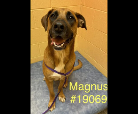Magnus is available at Montgomery County Animal Care and Control