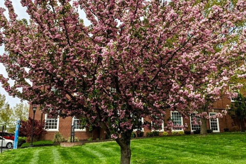 Japanese Cherry on the Austin Peay State University Campus. (APSU)