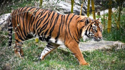 Male Sumatran tiger, Felix. (Nashville Zoo)