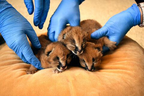 Nashville Zoo's Caracal Kittens. (Kate Johns)