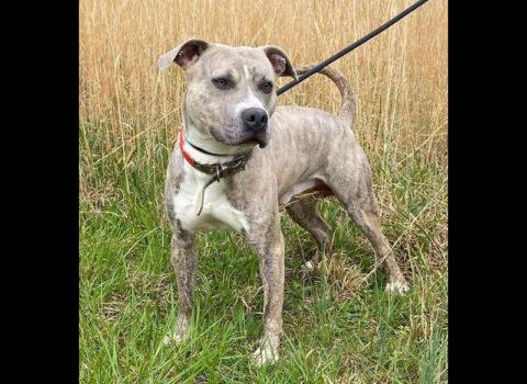 Companion Pet Rescue of Middle Tennessee - Attie