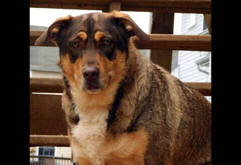 Humane Society of Clarksville-Montgomery County - Bailey
