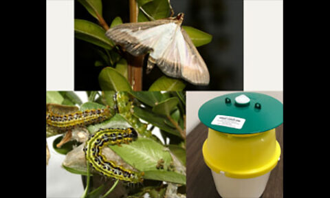 Box Tree Moth. (Courtesy of Matteo Maspero and Andrea Tantardini, Centro MiRT - Fondazione Minoprio [IT]. and TDA image of Box Wood Moth Trap)