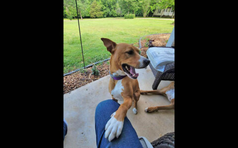Pet Rescue of Middle Tennessee - Copper