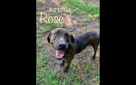 Montgomery County Animal Care and Control - Rose
