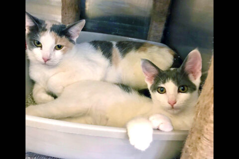 Strawberry and Pearl are available at Cats Are Us.