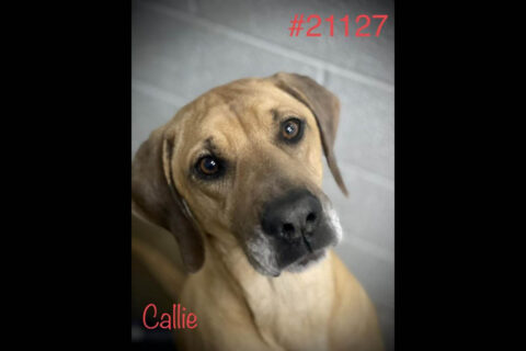 Montgomery County Animal Care and Control - Callie