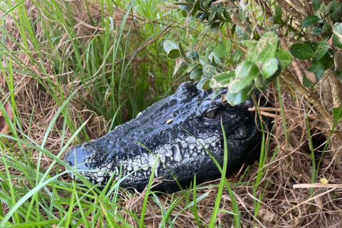 Clarksville Parks and Recreation has placed decoy alligators at Liberty Park to control the waterfowl population.