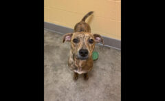 Addison is available at Montgomery County Animal Care and Control