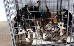 Sagley's Biker Bully Farm – Puppies
