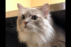 Cindy is available at Cats Are Us